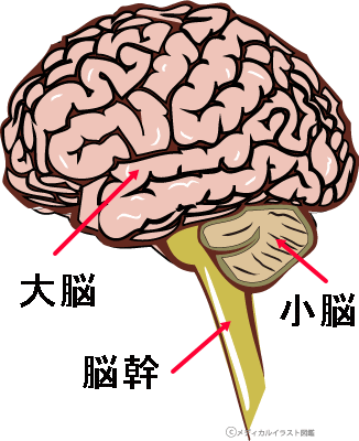 「脳 脳幹」の画像検索結果